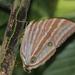 Amathusia phidippus - Photo (c) Bart, todos los derechos reservados, uploaded by BJ Smit