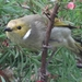 White-plumed Honeyeater - Photo (c) ml06, all rights reserved
