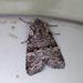 Brachylomia viminalis - Photo (c) Maarit Similä, כל הזכויות שמורות