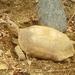 Tortuga Sinaloense de Matorral - Photo (c) Jorge Sauceda, todos los derechos reservados