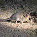 Gray Mouse Opossum - Photo (c) Rolando Chavez, all rights reserved