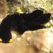 Chelidonura flavolobata - Photo (c) Bart, todos los derechos reservados, uploaded by BJ Smit