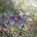 Calectasia narragara - Photo (c) entropyandroar, todos los derechos reservados