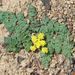 Coast Range Lomatium - Photo (c) Wendy Feltham, all rights reserved