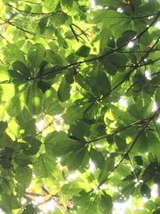 Couroupita nicaraguarensis image