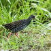 Spotted Rail - Photo (c) Nick Athanas, some rights reserved (CC BY-NC-SA)