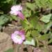 Torrey's Monkeyflower - Photo (c) Henry (Hank) Fabian, all rights reserved