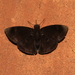 Aethilla echina coracina - Photo (c) Barry Lyons, all rights reserved