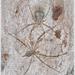 Tamopsis - Photo (c) tricarpa, todos los derechos reservados
