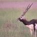 Blackbuck - Photo (c) Sumiti Saharan, all rights reserved