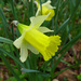 Daffodils - Photo (c) Tig, all rights reserved