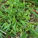 Montia fontana - Photo (c) Tig, todos los derechos reservados