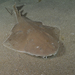 Tiburones Ángel - Photo (c) James Peake, todos los derechos reservados