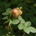 Diplolepis mayri - Photo (c) wouterteunissen, todos os direitos reservados
