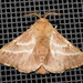 Eastern Tent Caterpillar Moth - Photo (c) treichard, all rights reserved, uploaded by Timothy Reichard