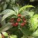 Psychotria - Photo (c) Jason Chentorycki, כל הזכויות שמורות