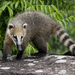 South American Coati - Photo (c) ramassotti, all rights reserved