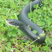 Southern Black Racer - Photo (c) tonyg, all rights reserved, uploaded by Tony Gerard