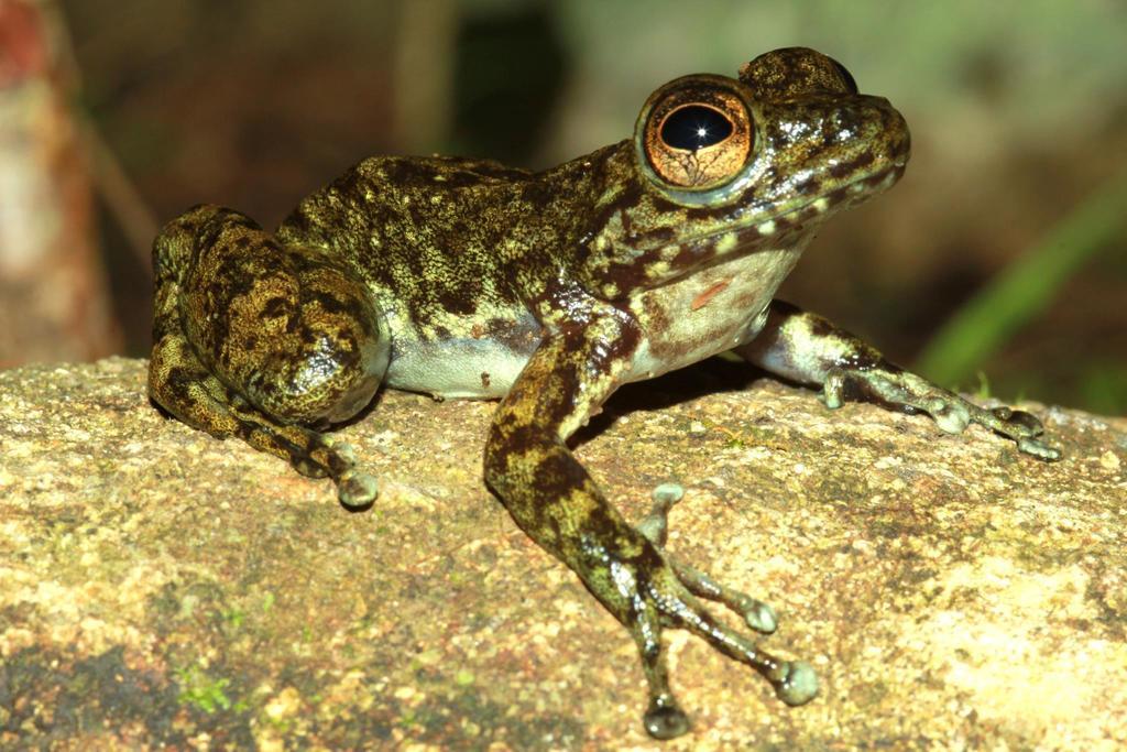 Boehmantis microtympanum · iNaturalist