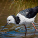 Pied Stilt - Photo (c) Charles (Chuck) Peterson, some rights reserved (CC BY-NC-ND)