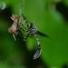 Acronyches westcotti - Photo (c) Luis Daniel Santana Moreno, todos los derechos reservados