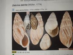 Zebrina detrita image