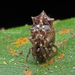 Phoroncidia septemaculeata - Photo (c) Prasanna Parab, todos los derechos reservados