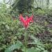 Aphelandra hieronymi - Photo (c) Yamil Pablo, todos los derechos reservados