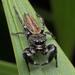 Piranthus planolancis - Photo (c) Prasanna Parab, all rights reserved