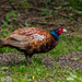 Ring-necked Pheasant - Photo (c) Andrew Orgill, all rights reserved