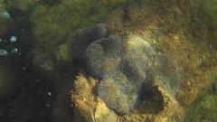 Stichodactyla helianthus image