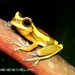 Variable Clown Treefrog - Photo (c) elson, all rights reserved, uploaded by Elson Meneses Pelayo