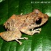 Amazon Rain Frog - Photo (c) elson, all rights reserved, uploaded by Elson Meneses Pelayo