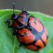 Escarabajos Tortuga Naranja - Photo (c) Roberto Arreola Alemón, todos los derechos reservados