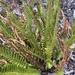 Polystichum imbricans - Photo (c) Justin Baldwin, todos los derechos reservados