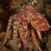 Pulpo Rojo del Pacífico - Photo (c) Phil Garner, todos los derechos reservados