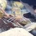 Noturus taylori - Photo (c) Katie Morris, todos los derechos reservados