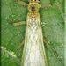 Chloroperlidae - Photo (c) Alain Hogue, όλα τα δικαιώματα διατηρούνται