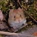 Southern Red-backed Vole - Photo (c) tlallen617, all rights reserved
