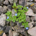 Grey Field-Speedwell - Photo (c) Tig, all rights reserved