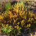 Salicornia brachiata - Photo (c) Asanka Gallege, kaikki oikeudet pidätetään