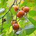 American Persimmon - Photo (c) Bala, all rights reserved