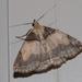 Zanclognatha laevigata - Photo (c) Ian Davies, todos los derechos reservados