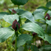 Prairie Trillium - Photo (c) Eric Hunt, all rights reserved