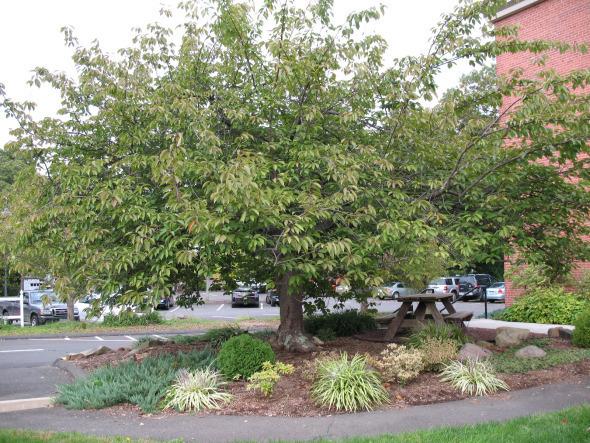 Kwanzan Cherry Tree Exploring Boston 39 S Urban Forest Inaturalist