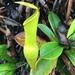 Nepenthes pervillei - Photo (c) Elsa Elisabetta Alberti, todos los derechos reservados