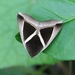 Triangular-striped Moth - Photo (c) 邱仲良, all rights reserved