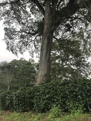Ceiba pentandra image