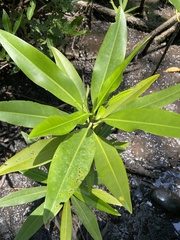Rhizophora racemosa image