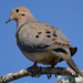 Mourning Dove - Photo (c) markg, all rights reserved